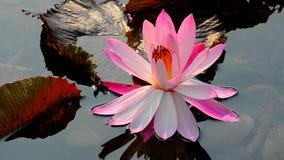 Lirio de agua rosado hermoso almacen de metraje de vídeo