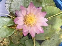 Lirio de agua rosado tropical fotografía de archivo libre de regalías