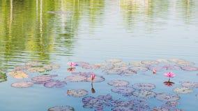 Lirio de agua rosado y reflexión de árboles Imagen de archivo libre de regalías