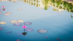 Lirio de agua rosado y reflexión del edificio imágenes de archivo libres de regalías
