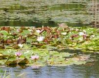 Lirio de agua de Tetragona del Nymphaea Imagen de archivo