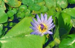 Lirio de agua violeta, fondo de la flor de loto Fotografía de archivo libre de regalías