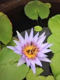 Lirio de agua y primer de las abejas Foto de archivo libre de regalías