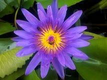 Lirio de agua y x28; lotus& x29; Imágenes de archivo libres de regalías