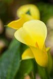 Lirio de Arum amarillo Fotografía de archivo