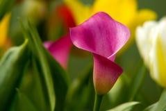 Lirio de cala rosada hermoso fotos de archivo