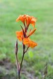 Lirio de Canna anaranjado Imagen de archivo libre de regalías