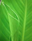 Lirio de Canna de las hojas Foto de archivo