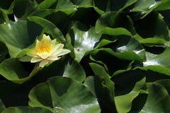 Lirio de charca en el pequeño lago en el jardín del Pannonhalma benedictino Archabbey Imágenes de archivo libres de regalías