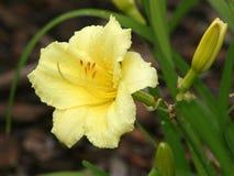 Lirio de día amarillo con gotas de lluvia Fotos de archivo