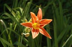 Lirio de día anaranjado Imagenes de archivo
