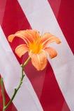 Lirio de día anaranjado con las rayas rojas y blancas de la bandera de los E.E.U.U. Fotos de archivo libres de regalías