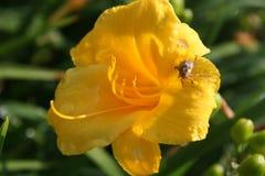 Lirio de día con un escarabajo Imagen de archivo libre de regalías
