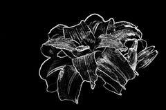Lirio de día en blanco y negro Foto de archivo libre de regalías