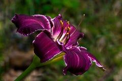 Lirio de día púrpura Imagen de archivo libre de regalías