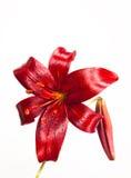 Lirio de día rojo Imagen de archivo libre de regalías