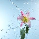 Lirio de día rosado en agua que salpica fresca Fotos de archivo