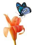 Lirio de día y mariposa azul Foto de archivo