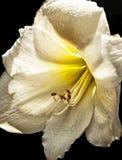 Lirio de día de oro Imagen de archivo libre de regalías