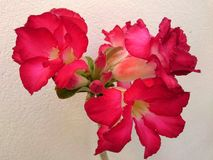 Lirio de impala rosado en verano Imágenes de archivo libres de regalías