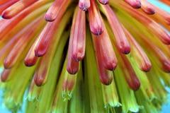 Lirio de la antorcha de la flor Imagen de archivo libre de regalías