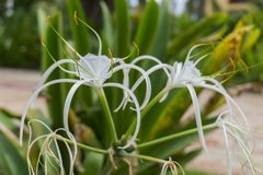 Lirio de la araña, Hymenocallis Caribaea Araña-lirio del Caribe blanco fotos de archivo