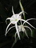 Lirio de la araña (SP de Hymenocallis.) Fotos de archivo libres de regalías