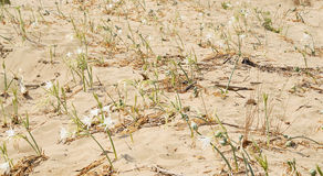 Lirio de la arena en la orilla Foto de archivo