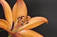 Lirio de la flor Imágenes de archivo libres de regalías