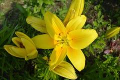 Lirio de la flor Fotografía de archivo libre de regalías