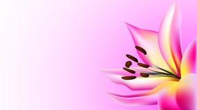 Lirio de la flor ilustración del vector