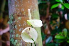 Lirio de la flor del lirio de Nile Calla Foto de archivo libre de regalías