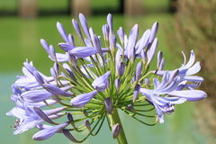 Lirio de la flor del Nilo Foto de archivo libre de regalías