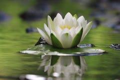 Lirio de la flor en el agua pura Imagenes de archivo