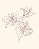Lirio de la ilustración Fotografía de archivo libre de regalías