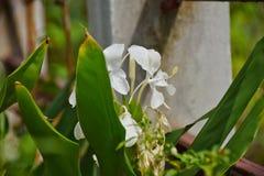 Lirio de la mariposa de la flor blanca Foto de archivo