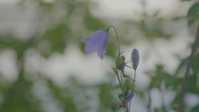 Lirio de los valles azul Ciérrese para arriba de lirio de los valles Lirio de mayo en colores hermosos metrajes