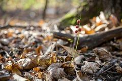 Lirio de los valles del otoño Imagen de archivo libre de regalías