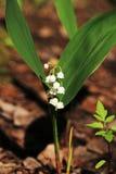 Lirio de los valles en el bosque de la primavera, Rusia Foto de archivo libre de regalías