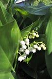 Lirio de los valles floreciente Imagen de archivo
