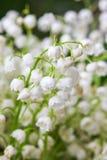Lirio de los valles floreciente en jardín del resorte Fotos de archivo libres de regalías