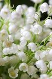 Lirio de los valles floreciente en jardín del resorte Foto de archivo libre de regalías