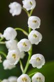Lirio de los valles floreciente en jardín del resorte Imagenes de archivo