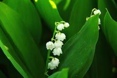 Lirio de los valles de florecimiento en la hierba densa en el bosque imagenes de archivo