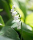 Lirio de los valles hermoso de la flor en naturaleza Fotografía de archivo libre de regalías