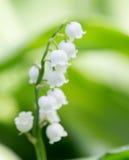 Lirio de los valles hermoso de la flor en naturaleza Foto de archivo libre de regalías