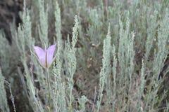 Lirio de Mariposa Fotos de archivo libres de regalías