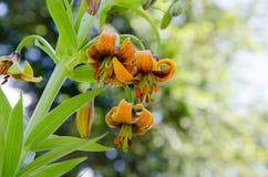 Lirio de montaña (Lilium Carniolicum) Fotografía de archivo