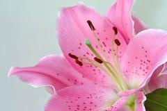 Lirio de oriental de la flor del Lilium foto de archivo libre de regalías