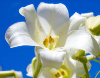 Lirio de pascua blanco y cielo azul Imagen de archivo